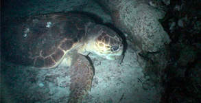 In the realm of the loggerhead turtles